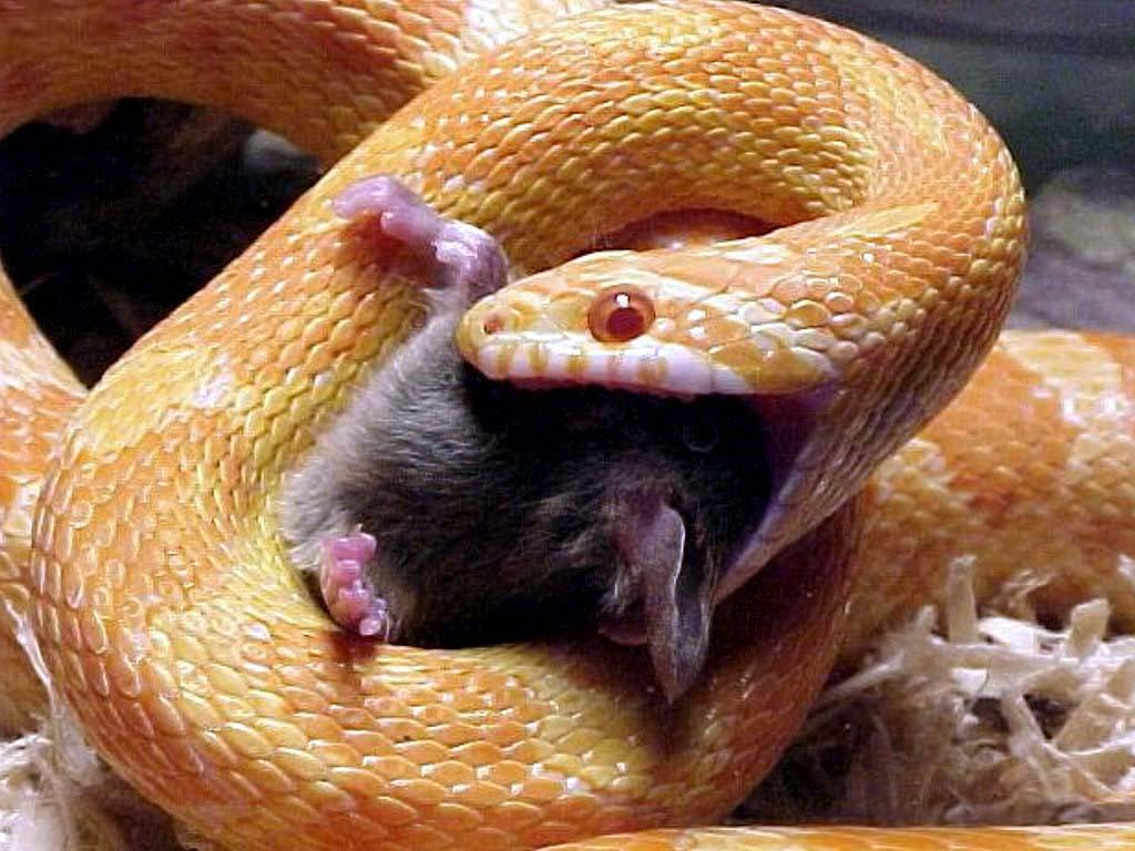 змея ловит крысу